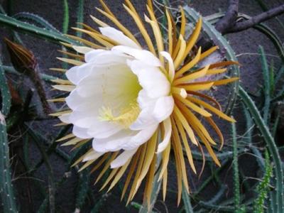 Целеницереус кактус царица ночи на фото изображен этот экзотический кактус