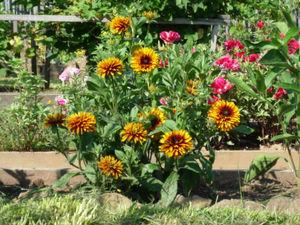Особенности выращивания рудбекии или золотых шаров