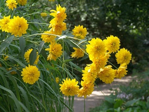 Виды цветов рудбекии и их описание