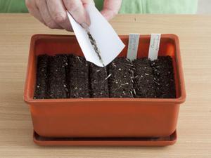 Описание способа размножения рудбекии семенами