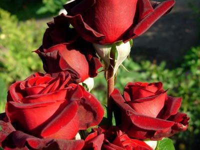 Описание сорта чайно-гибридной розы Блэк Мэджик и особенности его выращивания