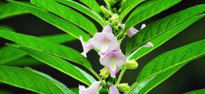 Цветение индийского кунжута