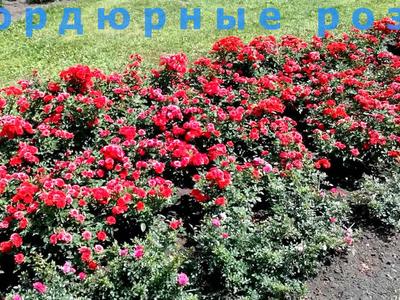 Бордюрная роза: описание характеристик растения, правила посадки и ухода в саду