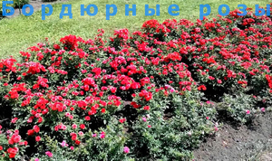 Цветение бордюрной розы