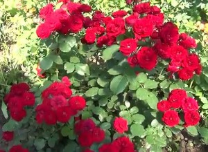 Внешний вид бордюрной розы