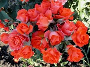 Как цветет бордюрная роза