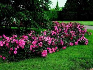 Как выглядит роза на клумбе