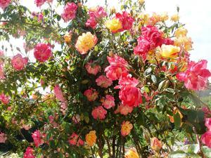 Взрослая роза полька
