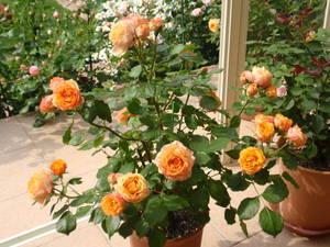 Комнатная роза  Бэби Долл