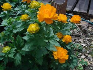 Цветок купальница в саду