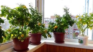 Особенности выращивания и ухода зимних помидоров