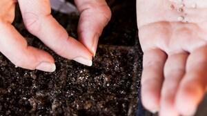 Как вырастить помидоры дома на подоконнике