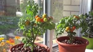 Выращивать помидоры черри на подоконнике не сложно