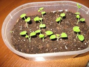 Почва и подкормка для пеларгонии