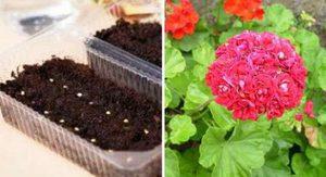 В чем особенность выращивания пеларгонии
