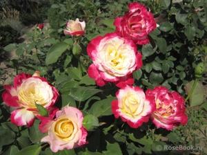 Выращивание роз дабл делайт