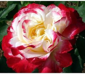 Внешний вид розы дабл делайт