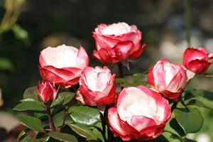 фото и описание ностальжи сорт розы