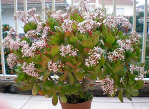 Денежное дерево цветение в домашних условиях