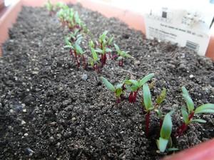 Как посадить свеклу