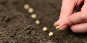 Способ выращивания свеклы