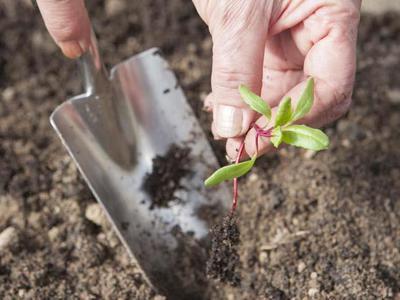 Как посадить свеклу из семян