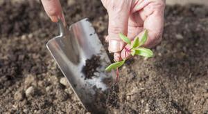 Посадка и выращивание свеклы в открытом грунте: уход и прореживание 52