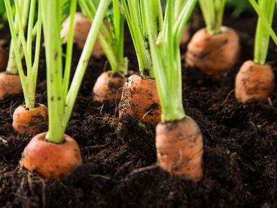 Как правильльно выращивать длинную, ровную, сочную и сладкую морковь в отрытом грунте, на даче, в Сибири ( секреты большого урожая )
