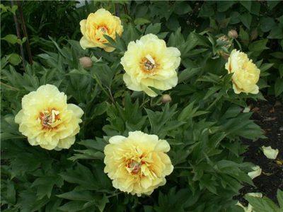 Виды и сорта пионов: жёлтые и красные, бордовые и розовые пионы