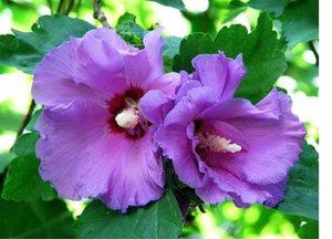 Цветы гибискуса садового