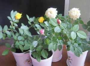 Выращивание комнатной розы в домашних условиях