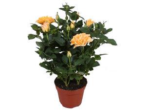 Температурный режим для комнатной розы