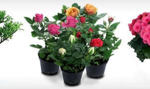 Удобрения и  для комнатной розы