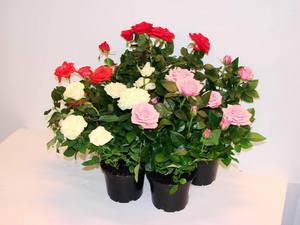Влажность в помещении  для комнатной розы