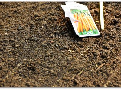 Как сажать морковь. Когда сажать морковь весной в грунт в 2019 году