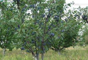 Сливовые деревья сорта Стенлей