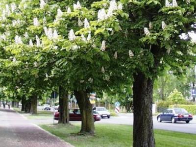 Сколько растет дерево каштан