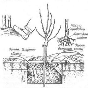 Когда лучше сажать плодовые деревья в подмосковье весной или осенью
