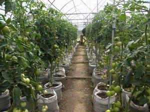 Как вырастить томаты в теплице