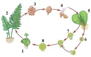 Размножение папоротника, образование спор и последующее укоренение их в грунте