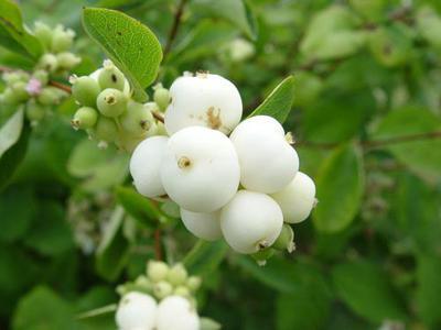 Что за кусты с белыми ягодами осенью