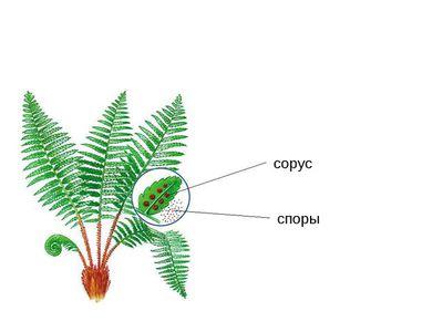 ель размножается семенами или спорами