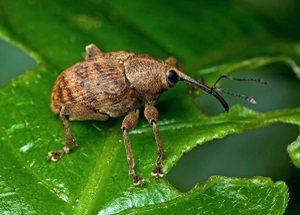 Описание жука долгоносика, способы борьбы с этим насекомым