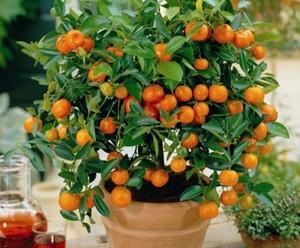 Условия для выращивания апельсинов 902