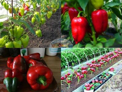 Как правильно вырастить рассаду болгарского перца и посадка с уходом в открытом грунте