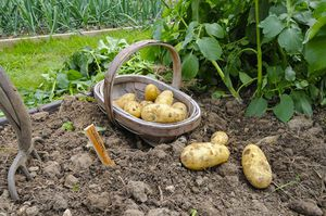Как сажать картошку под лопату