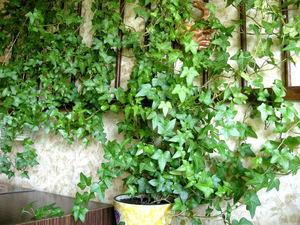 Растение комнатный плющ практические рекомендации