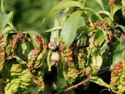 Болезни листьев, дерева, ствола, плодов персика и борьба с ними