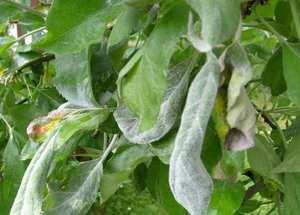 Мучнистая роса листьев