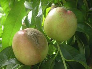 Заболевание плодов персика
